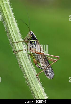 Rösel von Bush Cricket - Metrioptera Roeselii - macropterous form - Stockfoto