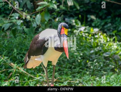 Sattel in Rechnung Storch Nahrung senegalensis - Stockfoto