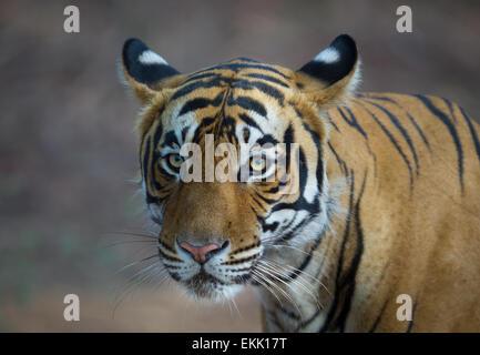 Erwachsene männliche Bengal Tiger in Ranthambhore, Wald, Indien. (Panthera Tigris) - Stockfoto