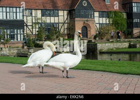 Höckerschwäne vor RHS Wisley Gärten Labor. Surrey, England - Stockfoto
