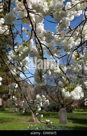 London, UK. 11. April 2015. Blauer Himmel und Kirschblüten in Fulham Friedhof. Bildnachweis: Sylvie JARROSSAY/Alamy - Stockfoto