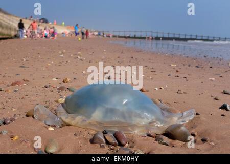 Quallen angespült am Strand Dawlish Warren England UK - Stockfoto