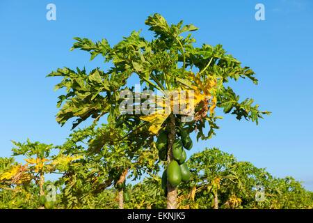 Dominikanische Republik, Südwesten, Halbinsel Baoruco, Papaya-Plantage Bei Pedernales - Stockfoto
