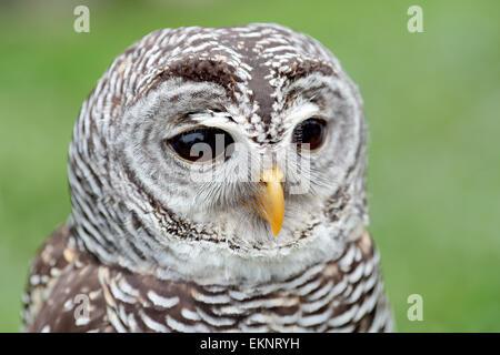 Nahaufnahme des Gesichts von einem Streifenkauz Strix Varia, mit dem Schnabel geschlossen - Stockfoto