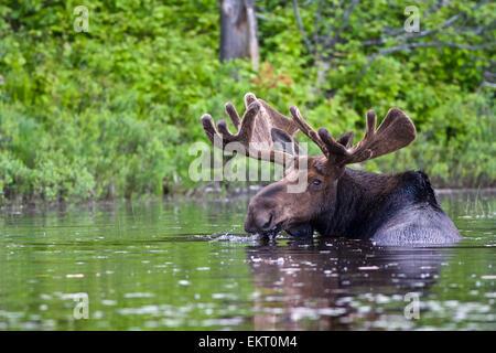 Bull Moose In samt füttern, Algonquin Provincial Park Ontario - Stockfoto