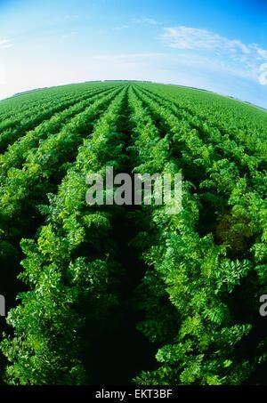 Landwirtschaft - Bereich gesunde Reife Karotten / in der Nähe von Portage la Prairie, Manitoba, Kanada. - Stockfoto