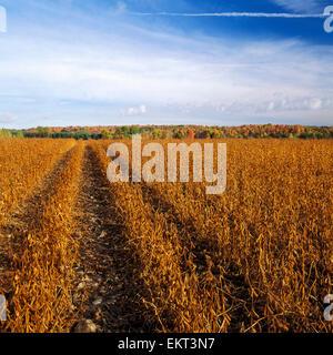 Landwirtschaft - Bereich der Reife Ernte ready-Sojabohnen mit einem Hang des Herbstes Farben im Hintergrund / Ontario, - Stockfoto