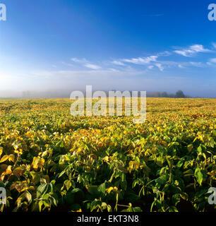 Landwirtschaft - Grossfeld Reifung Sojabohnen mit einer Baumgruppe und eine Linie von Nebel in der Ferne / Ontario, - Stockfoto