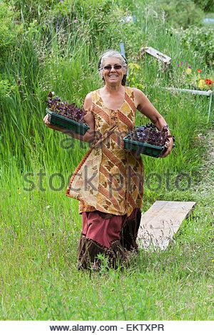 Reife Frau Gärtner trägt zwei Wohnungen von organischen lila Basilikum Vorspeisen; British Columbia Kanada - Stockfoto