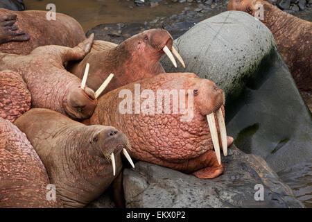 Bristol Bay in Alaska, Walross, - Stockfoto