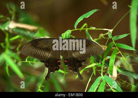 Helen rot Schmetterling (Papilio Helenus), Dorsalansicht, Süd-Indien und Teilen von Südostasien. - Stockfoto