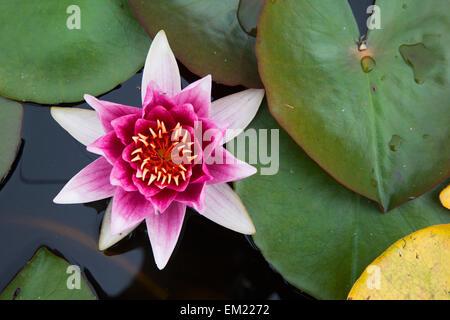 Eine blühende rosa Lotusblüte; Scottish Borders Schottland - Stockfoto