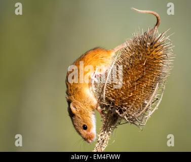 Eine kleine Ernte-Maus auf einer Distel-Kopf - Stockfoto