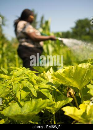 Frauen, die Bewässerung von Pflanzen im Manton Bend Community Garden in Providence, Rhode Island. - Stockfoto