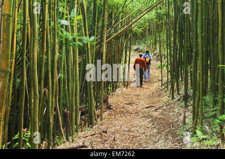 Hawaii, Oahu, Wanderer im Bambuswald auf Moleka Spuren über Makiki. - Stockfoto