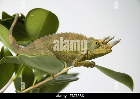 Jacksons Chamäleon hängen an grüner Baum Blätter - Stockfoto