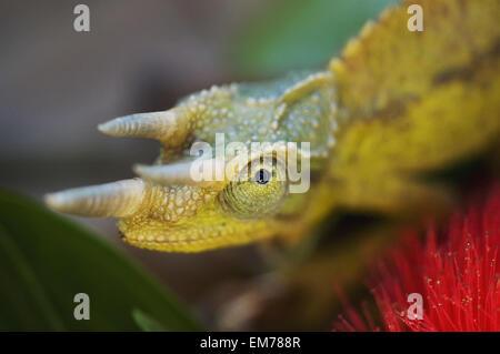 Jacksons Chamäleon, Cloe-Up Kopf, Selesctive Fokus, Ohia Blume im Vordergrund - Stockfoto
