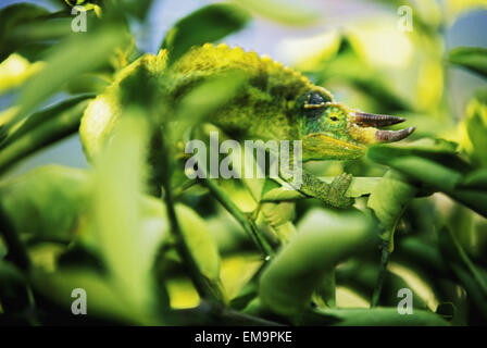 Jacksons Chamäleon Beimischung In umliegenden Baum Blätter, hellgrün - Stockfoto