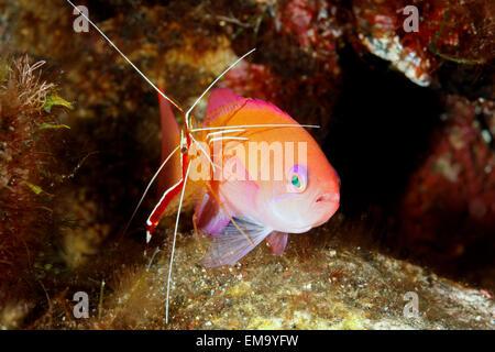 Weibliche untersetzt Anthias, auch bekannt als ein rosa Basslet, Pseudanthias Hypselosoma, gereinigt durch eine - Stockfoto