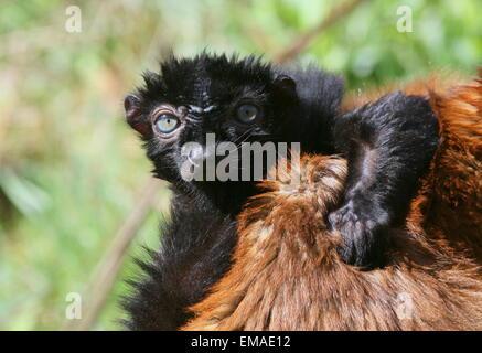 Männliche madagassische blauäugige schwarz Lemur oder Sclater Lemur (Eulemur Flavifrons) - Stockfoto