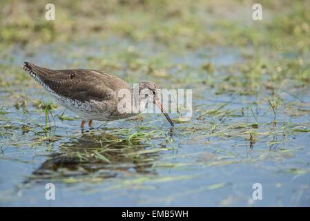 Rotschenkel (Tringa Totanus) auf Nahrungssuche in einen flachen pool - Stockfoto