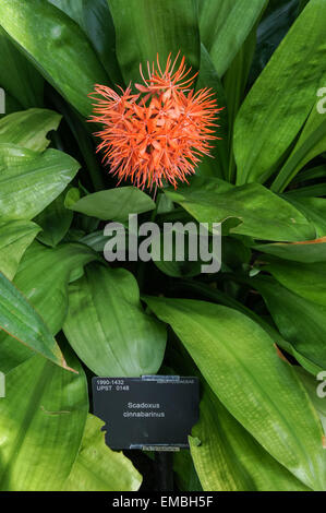 Scadoxus Cinnabarinus Anlage in Palm House, The Royal Botanic Gardens, Kew, London England Vereinigtes Königreich - Stockfoto