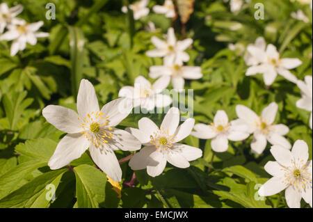 Wind-Blume, Buschwindröschen blühen im zeitigen Frühjahr unter sommergrünen Wald Baldachin, in Kent North downs - Stockfoto