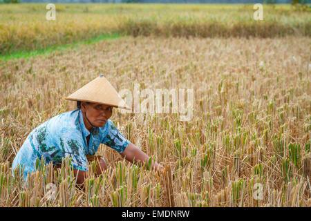 Frau arbeitet in einem Reisfeld in der Nähe der Stadt Yogyakarta. Java. Indonesien, Asien. - Stockfoto