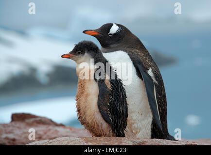 Erwachsenen Gentoo Penguin mit Küken Peterman Insel antarktischen Halbinsel Antarktis - Stockfoto
