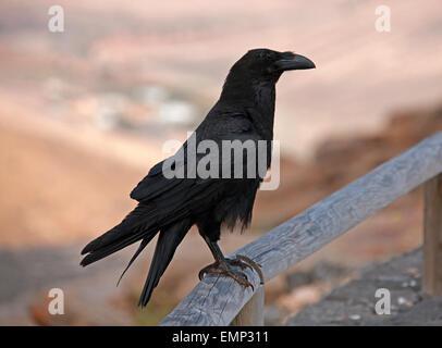 Kanarischen Inseln Rabe, Corvus Corax Jordansi (Sy C. c. Tingitanus), Rabenvögel. - Stockfoto