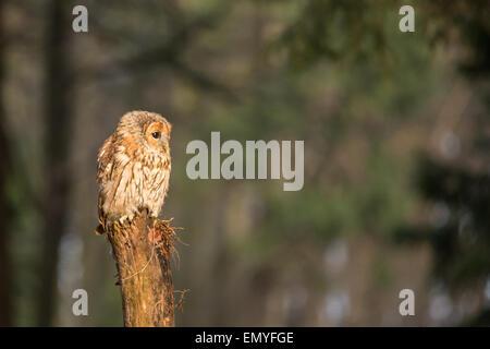 Waldkauz (Strix Aluco) hocken auf einem hölzernen Pfosten - Stockfoto