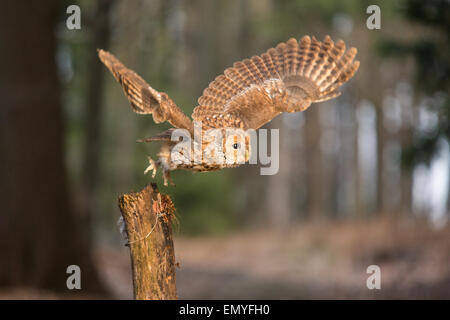 Waldkauz (Strix Aluco) die Flucht aus einem hölzernen Pfosten - Stockfoto