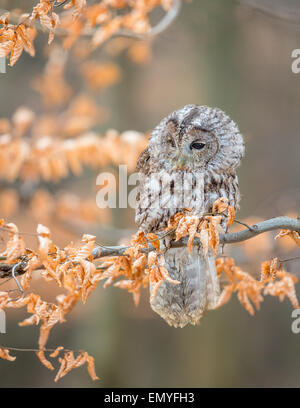 Waldkauz (Strix Aluco) thront auf einem Ast mit Autum farbige Blätter - Stockfoto