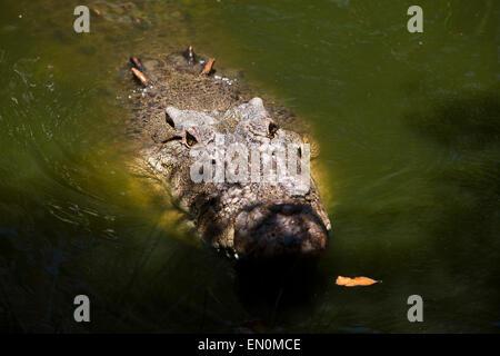 Saltwater Crocodile, Crocodylus porosus, Queensland, Australien - Stockfoto
