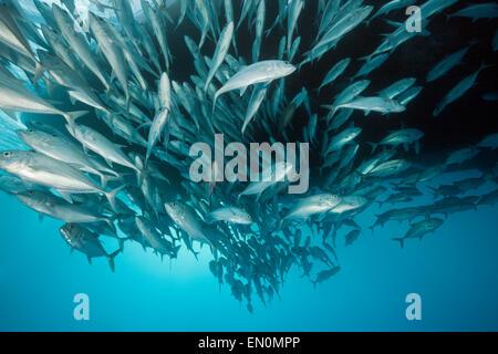 Schwarm von Bigeye Trevally, Caranx Sexfasciatus, Great Barrier Reef, Australien - Stockfoto