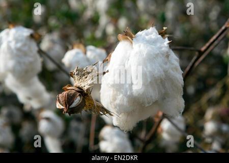 Anbau von Baumwolle in Äthiopien - Stockfoto