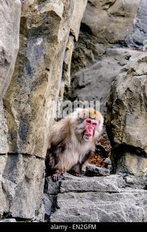 Snow Monkey, japanischen Makaken, Macaca Fuscata, peering von Felsen, Central Park Zoo, New York, NY, USA - Stockfoto