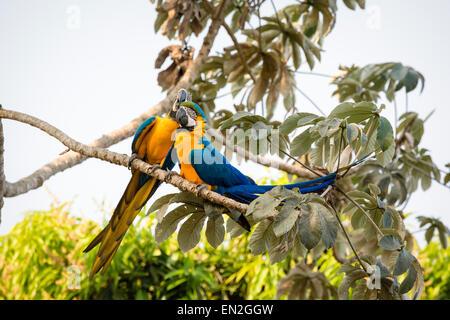 Paar von blau und gelb Aras, Ara Ararauna, auch bekannt als blau und Gold Aras, thront zusammen als Liebe-Vögel, - Stockfoto