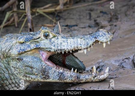 Profil des Kopfes ein Yacare Caiman, Caiman Crocodilus Yacare, mit einem Fisch im Maul und eine Fliege auf der Nase - Stockfoto