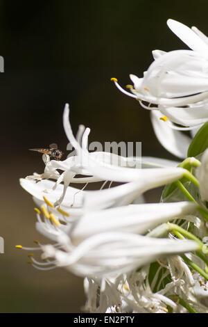 Ein Hoverfly thront auf einer Agapanthus Blume - Stockfoto