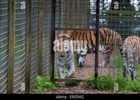 Feeding Big Cats In Kent