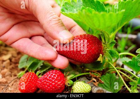 Nahaufnahme der Hand eines jungen Mannes Kommissionierung eine Erdbeere aus der Pflanze - Stockfoto