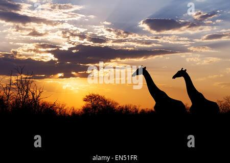 Sonnenuntergang und Giraffen in der Silhouette in Afrika, dramatischer Himmel, Botswana - Stockfoto