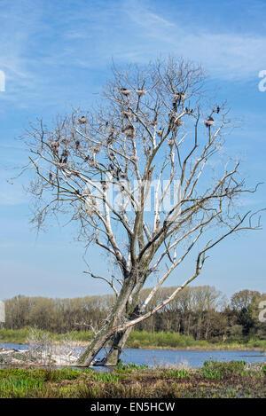 Toter Baum im Feuchtgebiet Naturschutzgebiet kolonisiert durch nisten Kormorane (Phalacrocorax Carbo) im Frühjahr - Stockfoto