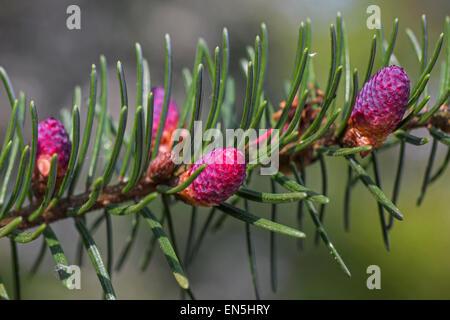 Europäische Tanne (Abies Alba) Großaufnahme der männlichen Blüten und Nadeln - Stockfoto