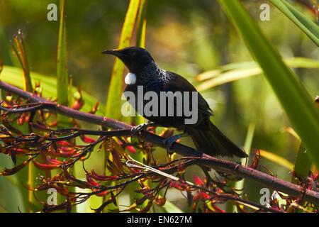 TUI (Prosthemadera Novaeseelandiae) in Bush Flachs (Phormium Tenax), Te Ahumairangi Hill (Tinakori Hill), Wellington, Neuseeland