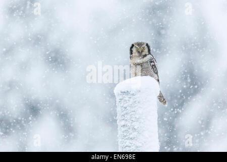 Nördlichen Sperbereule, Surnia Ulula, sitzt auf einem Telefonmast im Schneesturm, Blick in die Kamera, Gällivare, - Stockfoto