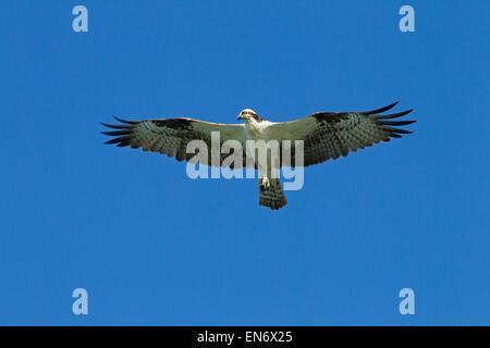 Fischadler Pandion Haliaetus in Flug März Fort Myers Beach Golf-Küste Florida USA - Stockfoto