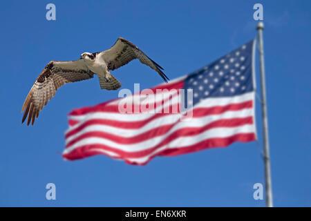 Fischadler Pandion Haliaetus im Flug und die Flagge der USA Fort Myers beach Golf-Küste Florida USA - Stockfoto