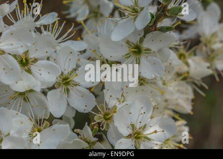 Blackthorn/Prunus spinosa spring blossom - Quelle der Schlehe Obst für die Herstellung von Sloe Gin. Weiße Blüten - Stockfoto